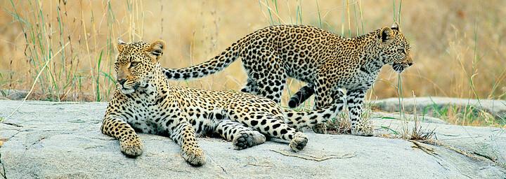 Leoparden im Krüger Nationalpark