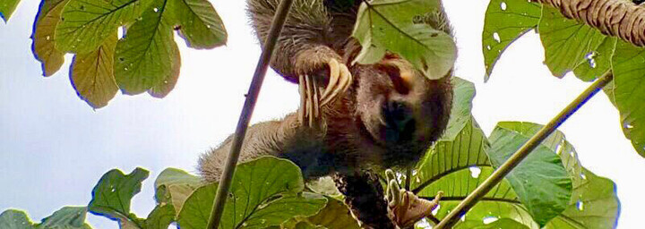 Faultier im Monteverde Nationalpark