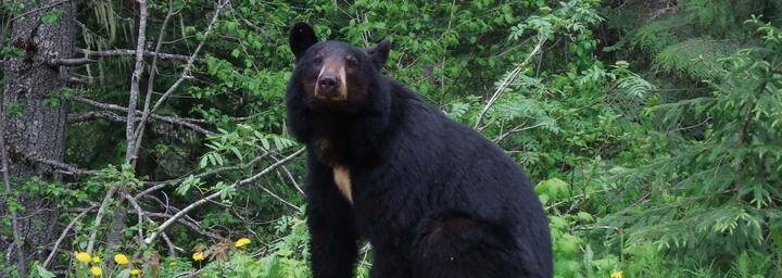 Bär im Wells Gray Provincial Park