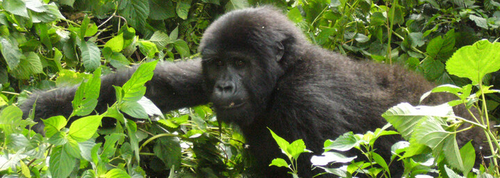 Bwindi Impenetrable Nationalpark - Gorilla