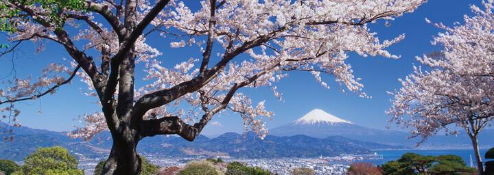 Fuji Vulkan mit Kirschbaum und Landschaft
