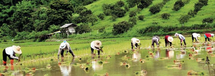 Reisfelder Chiang Rai