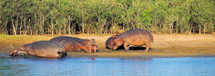 Flusspferde am Ufer im iSimangaliso Wetland Park