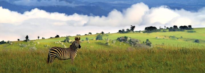 Zebra im Nyika Nationalpark