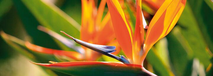 Papageienblume La Réunion