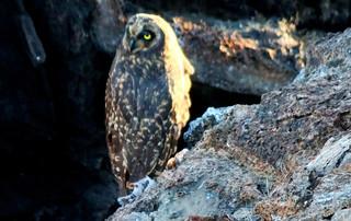 Galápagos Reisebericht - Sumpfohreule auf Genovesa