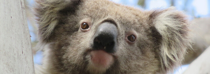 Koala Recovery Experience Koala