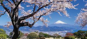 Fuji-San zur Kirschblüte