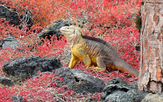 Galápagos Reisebericht - Landleguan auf Plaza Sur
