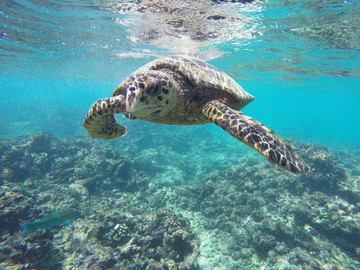 Reisebericht Seychellen - Schwimmende Wasserschildkröte