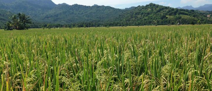 Lombok Reisebericht - Reisfelder auf Lombok