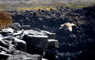 Galápagos Reisebericht - Galápagos Albatros