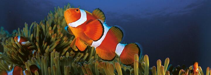 Clownfisch - Bohol