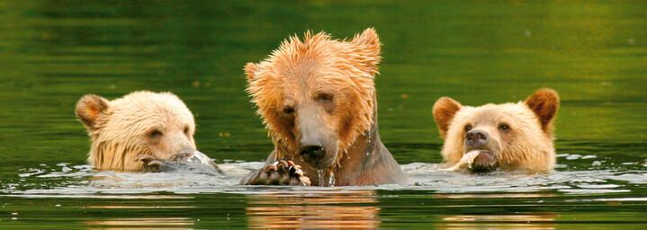 Grizzly Bärenfamilie