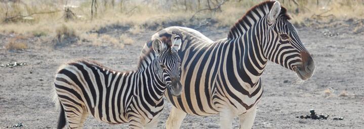 Reisebericht Namibia: Zebras im Etosha Nationalpark