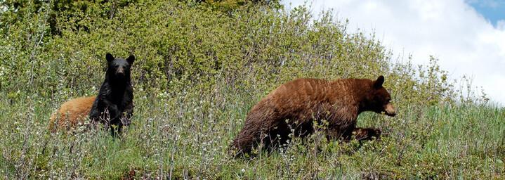 Kanada Reisebericht - Schwarzbären in ihrem natürlichen Lebensraum