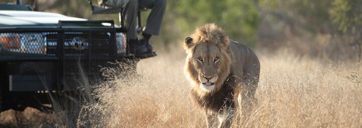 Beobachtung der Löwen