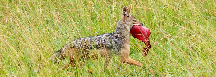Kenia Reisebericht - Schakal mit Beute im Masai Mara Reservat