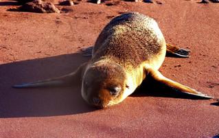 Galápagos Reisebericht - Insel Rabida Seelöwe und roter Sand