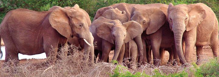 Gruppe von Elefanten im Addo Elephant National Park