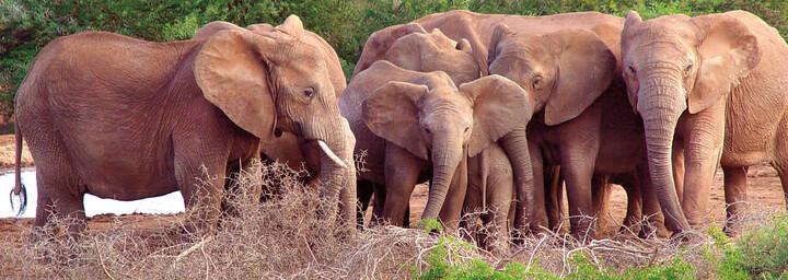 Elefantenherde im Addo Elefanten Nationalpark, Südafrika