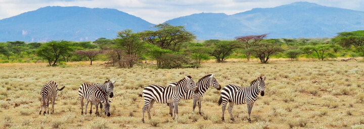 Kenia Reisebericht - Zebraherde im Samburu National Reserve