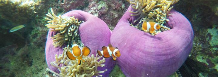 Reisebericht Malaysia - Clownfische vor der Insel Tioman