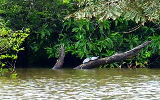 Ecuador Reisebericht - Wasserschildkröten im Cuyabeno Naturreservat