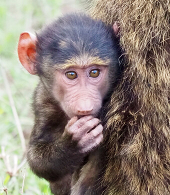Reisebericht Kenia - Pavian-Baby am Lake Nakuru