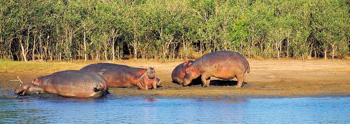 Flusspferde im iSimangaliso Wetland Park