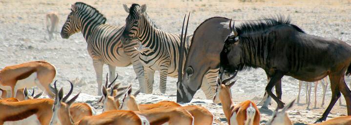 Tierherde im Etosha Nationalpark