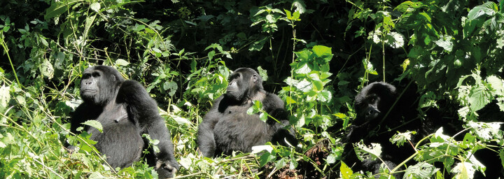 Gorillas im Bwindi Impenetrable Forest