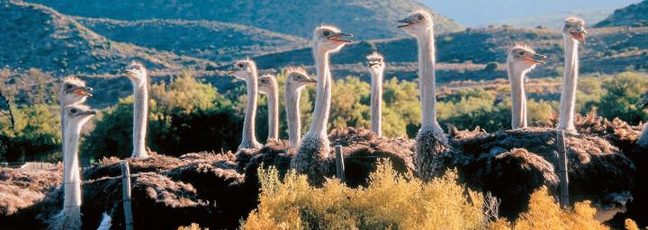 Strauße bei Oudtshoorn - Südafrika