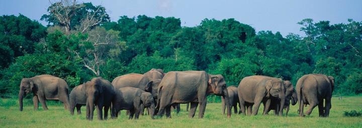 Gruppe Elefanten in Sri Lanka