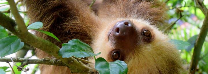 Faultier Costa Rica