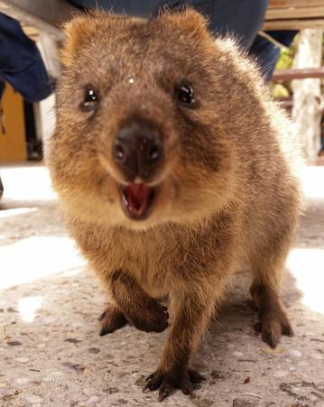 Reisebericht Australien: Neugieriges Beuteltier Quokka