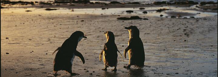 Pinguine auf Phillip Island