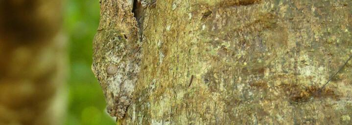 Madagaskar Reisebericht: Getarnter Blattschwanzgecko