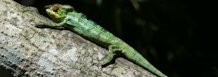 Madagaskar Reisebericht: Chamäleon im Lokobe Naturreservat