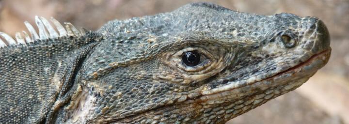 Manuel Antonio Nationalpark - Reptil