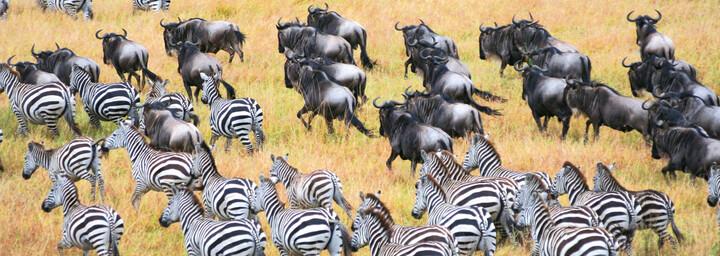 Zebra- und Gnuherde im Serengeti Nationalpark, Tansania