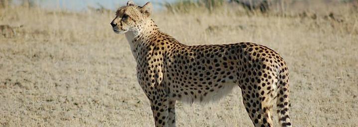 Reisebericht Südafrika: Gepard im Mashatu Game Reserve