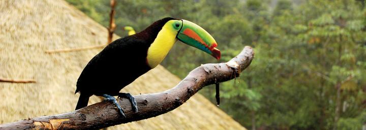 Tucan - Costa Rica