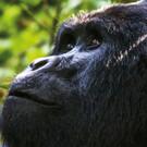 Auf den Spuren der Gorillas