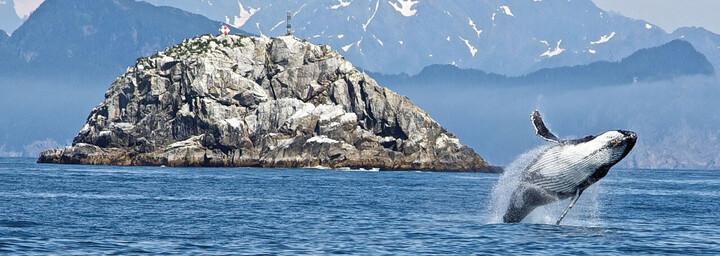 Buckelwal im Kenai Fjords Nationalpark