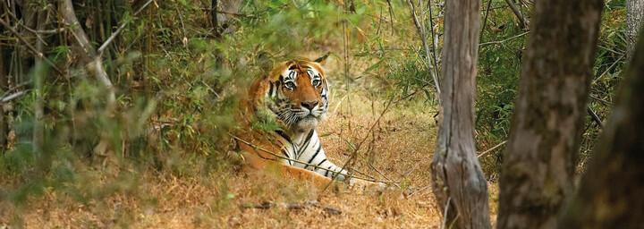 Tiger im Bandhavgarh Nationalpark Indien