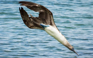 Galápagos Reisebericht - Blaufußtölpel