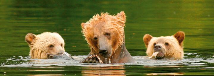 Bärenfamilie beim Baden