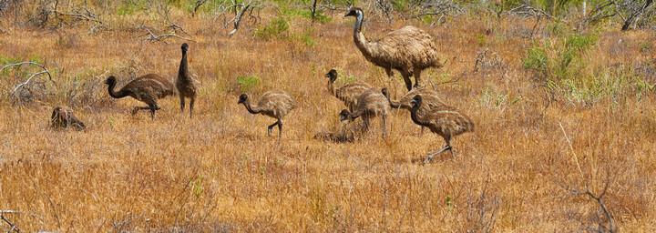 Emus in den Flinders Ranges