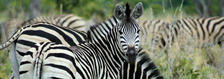 Zebras im Moreni Nationalpark